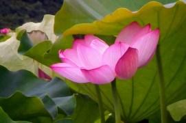 蓮花,漵浦
