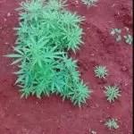 Cipe Chapada encontra plantação  de maconha em Andaraí