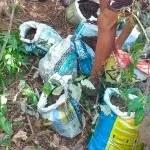 Polícia encontra 300 pés de maconha em plantação em Palmeiras