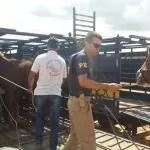 PRF realiza em trecho da Chapada Diamantina/BA retirada de animais soltos na BR 242