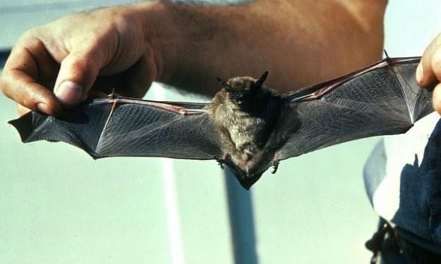 Rabid Bat Found on Hillsborough Playground