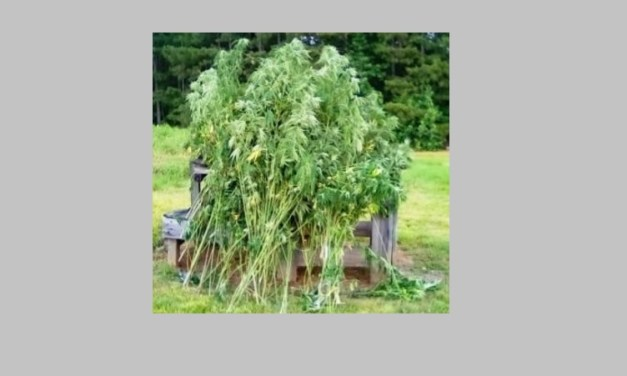 Operation Seizes 75 Marijuana Plants in Chatham County