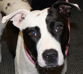 Adopt Ellie: A Mild-Mannered Pit Bull