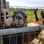 Tu for Two: Laina Loves Alpacas