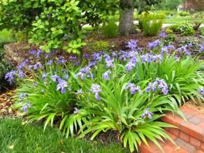 Biese Garden Iris tectorum