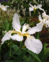 Lovejoy-Henkel Garden White Iris tectorum