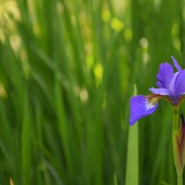 "3rd place - Lisa Soeters - ""Purple Iris"""