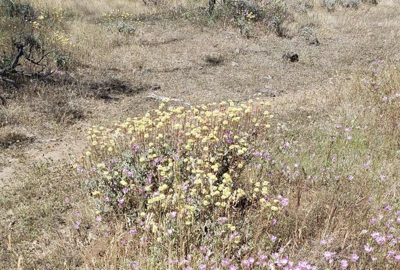 Pratton's Buckwheat