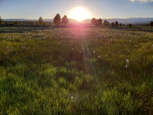 meadow filled with Camas in bloom