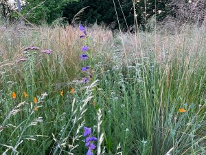 tall meadow grasses with flowering orange poppies and purple penstemon