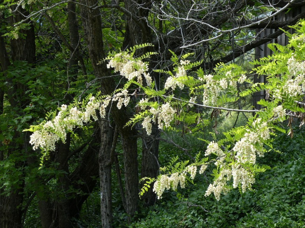 mature black locust fully in bloom with white flowers, in the midst of a pine forest