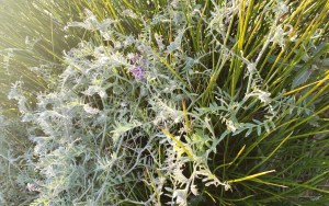grey-green hairy vetch, with a few purple flowers, thoroughly wound through a rush
