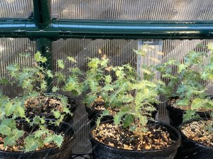 6 1-gallon pots of 6-inch shrub with prickly leaves