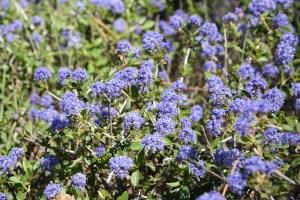 bluish-purple flowers cover a Lemmon's ceanothus shrub