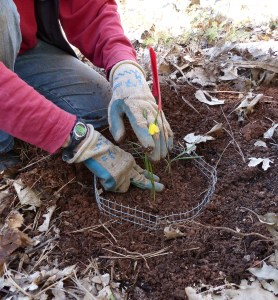 gardener's gloved hands planting small bulb with yellow flower, with wired gopher basket in soil