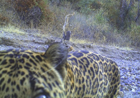 Image from Northern Jaguar Project http://www.northernjaguarproject.org/