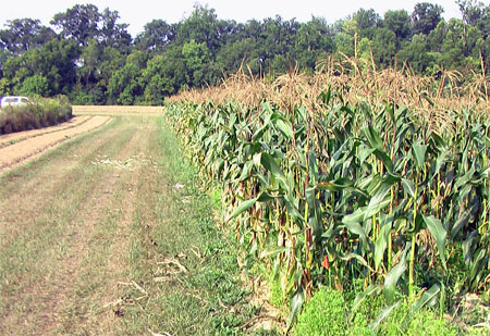 CharGrow ® also helped increase nitrogen use efficiency in the corn plots