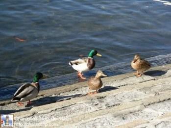 Patos en el Lago de Como