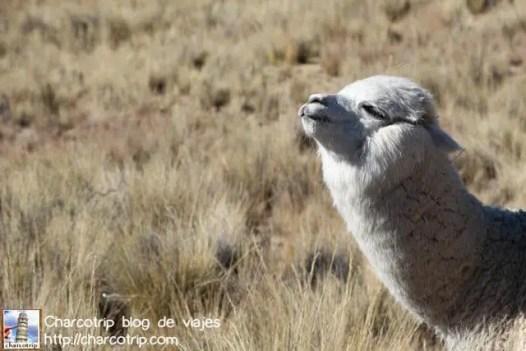 alpaca-mira-fijamente