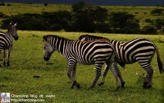 Cebras caminando