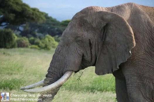 elefante11