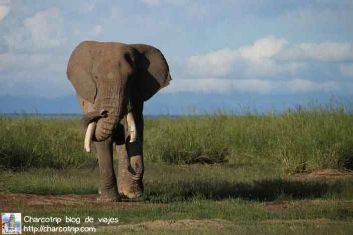 elefante31