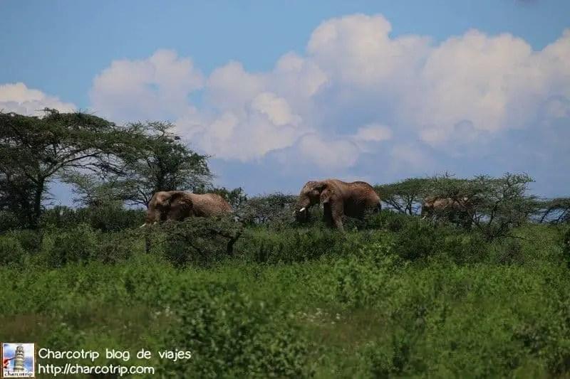 Elefantes machos