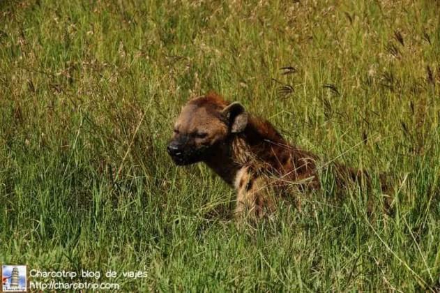 hiena-masai-mara