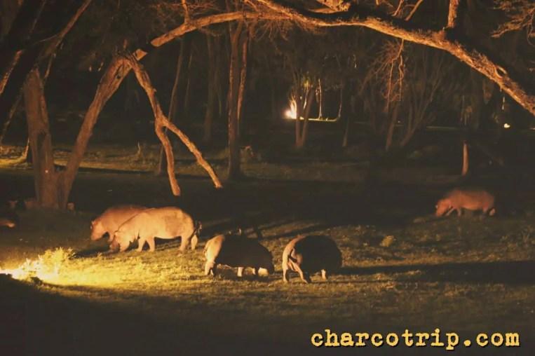 Hipopótamos cenando