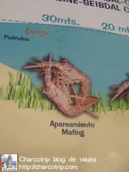 Apareamiento langostas tortugranja Isla Mujeres