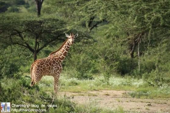 jirafa-bebe-safari-shaba-kenia