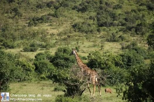 jirafa-jabali-masai-mara