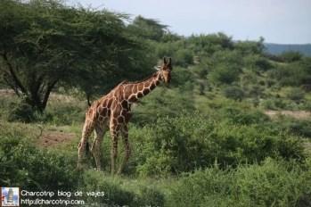 jirafa-reticulada-safari-shaba-kenia