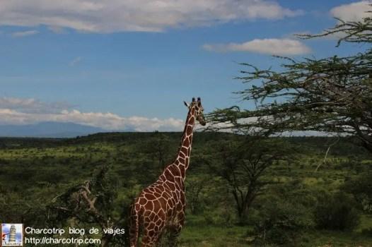 jirafa-reticulada-samburu