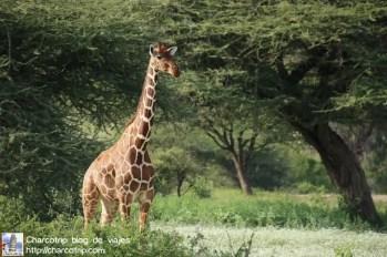 jirafa-safari-shaba-kenia