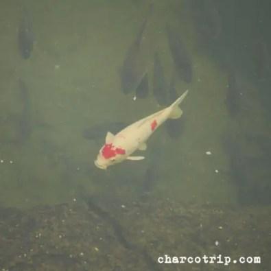 koi-fish-fukuoka