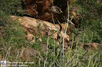 kudu-macho-safari-shaba-kenia