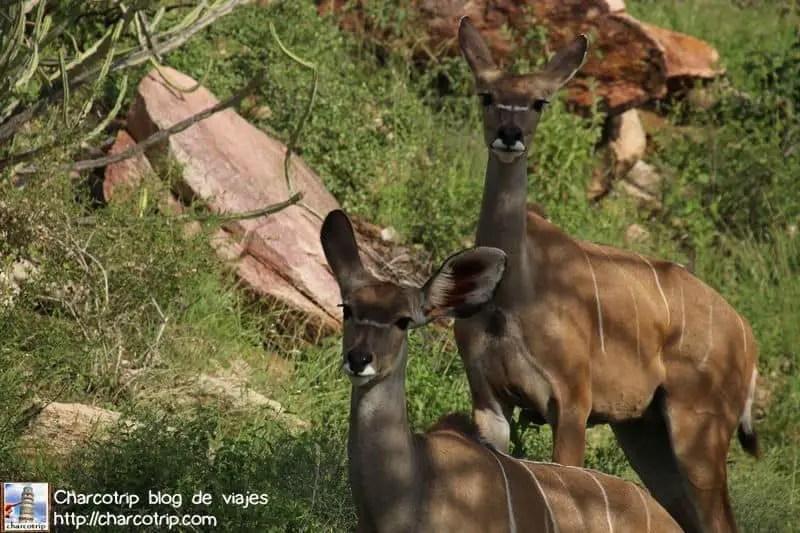 kudus-safari-shaba-kenia