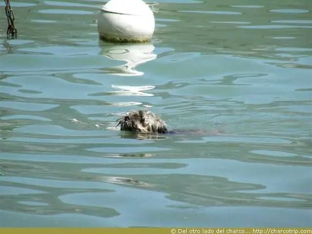 Perrito nadando en el lago de Annecy