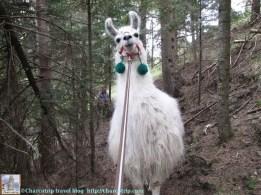 lamas-miradou-princesa-caminando