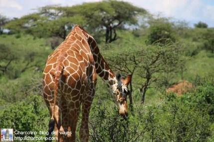 lengua-negra-jirafa