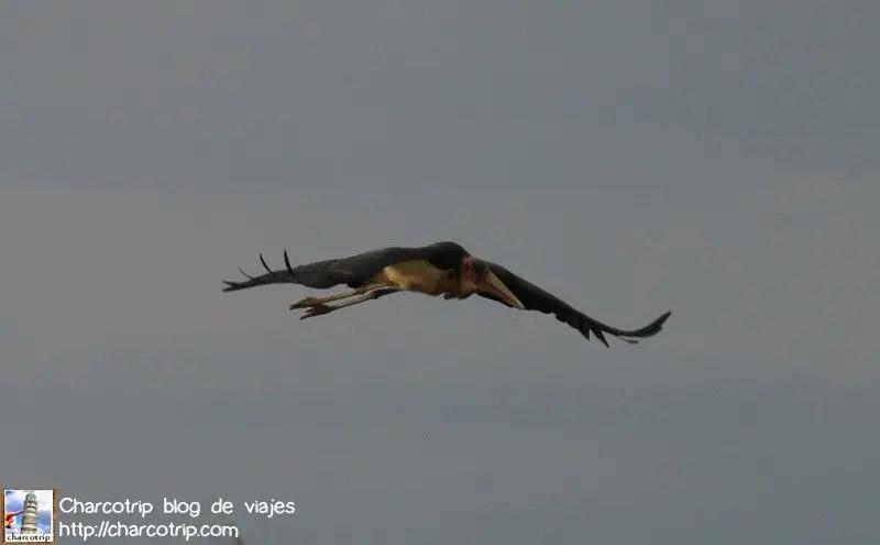 Marabu volando