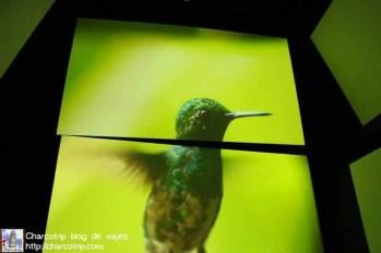 panamarama-colibri-biomuseo-panama