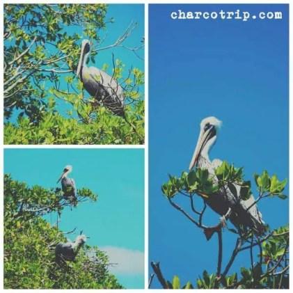 pelicanos-bocas-del-toro