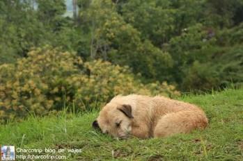 perro-dormido-salento