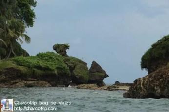 rabijunco-isla-pajaros-bocas-del-toro