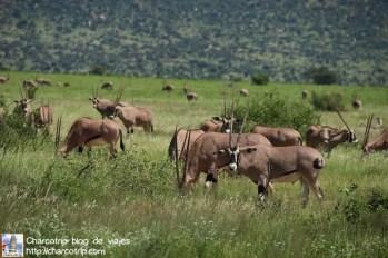 Fiesta de los oryx