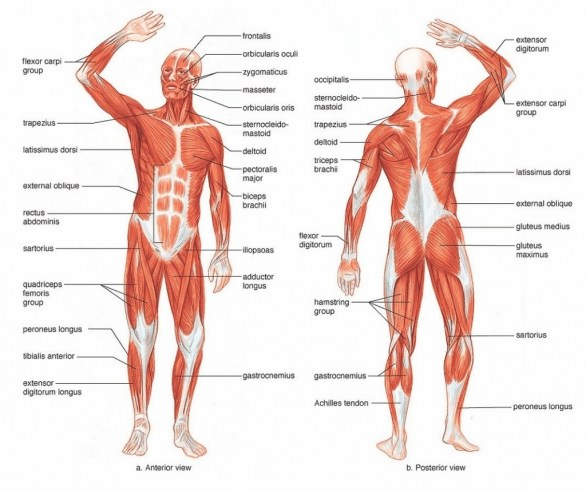 Labelled Diagram Of The Muscles In The Body Labelled Muscles Of The Human Body Muscles Of The Body Labelled
