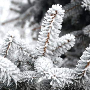 christmas-greeting-card-frosted-pines-by-inspired-thinking.jpg