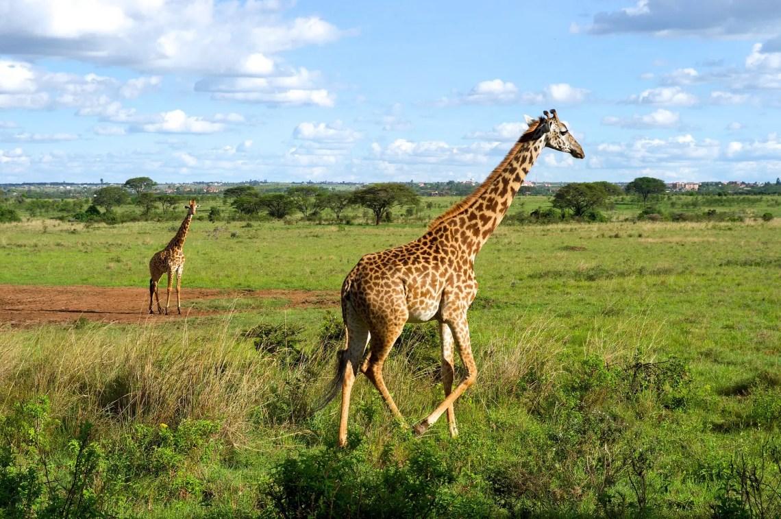 giraffes-1724251_1920